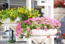 娇艳的盆花图片