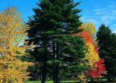 森林 松树图片