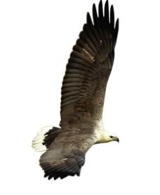雄鹰翱翔图片