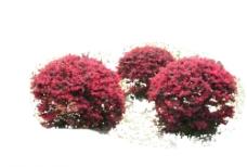红花继木球PSD图片