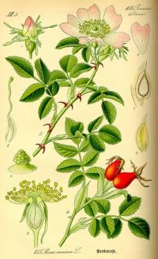 手绘植物标本图 犬蔷薇图片