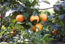沙糖桔 柑桔图片