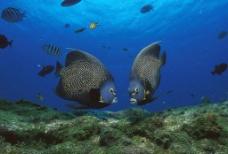 巴西罗卡环礁法国神仙鱼图片