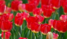 红色郁金香图片