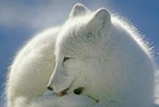 加拿大北极狐图片