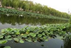 荷塘垂柳图片