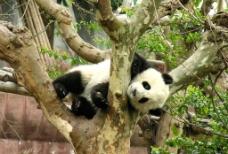 熊猫晶晶图片