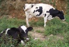 南山牧场奶牛图片