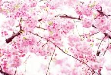 艳丽桃花图片