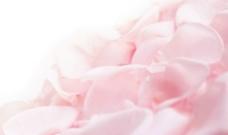 柔和的粉红玫瑰花图片