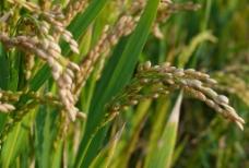水稻稻穗图片