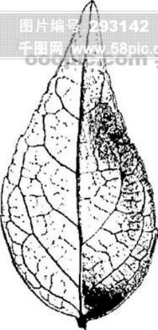 全球首席大百科 水墨 黑白 笔刷 叶子 树叶 叶脉 脉络 标本 纹理 拓印