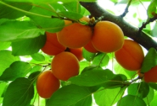 嵩山特产金太阳杏图片