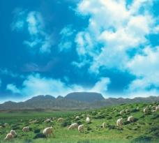 草原羊图片