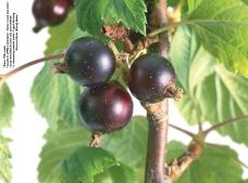 莓果0160