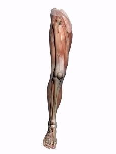 肌肉人体模型0066