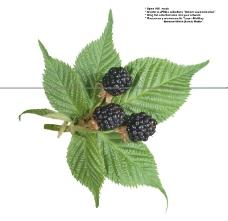 莓果0042