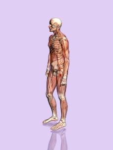肌肉人体模型0057