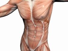 肌肉人体模型0004