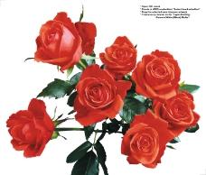 玫瑰0031