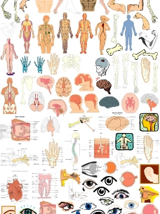 人体结构图片